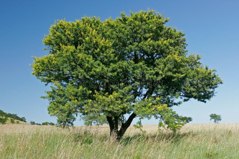 acaciaafrikantree royaltyfri bild