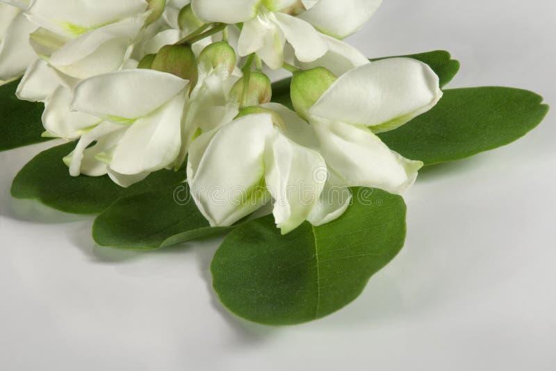 Acaciabloem op wit stock afbeeldingen