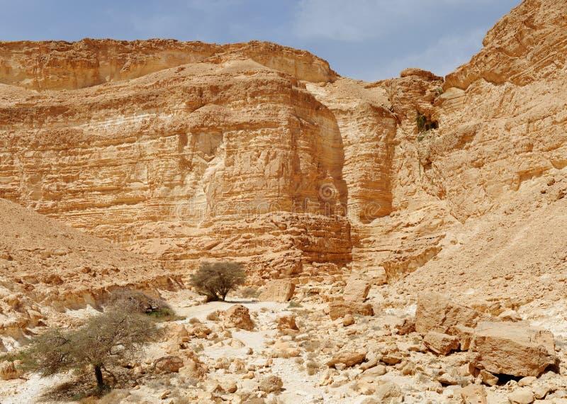 Acaciabomen bij de bodem van de woestijncanion royalty-vrije stock foto