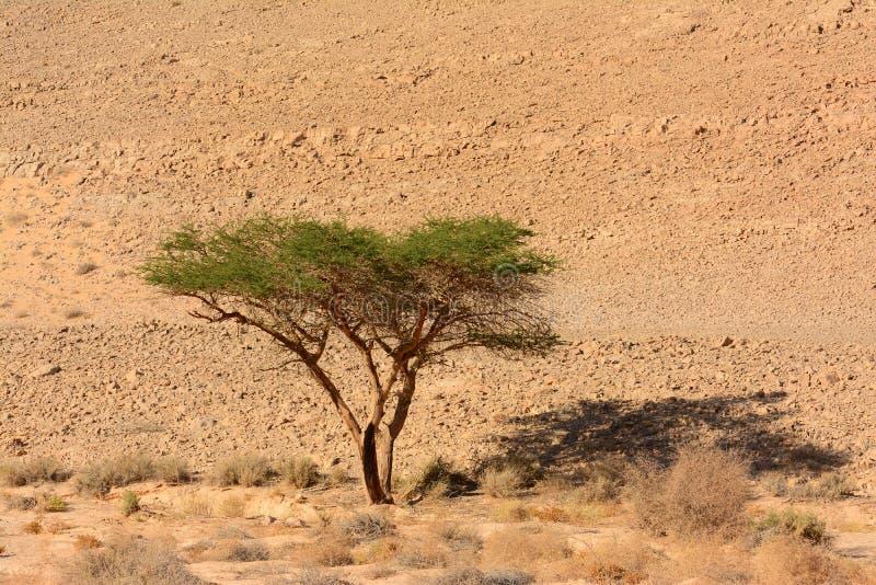 Acaciaboom in de woestijn, royalty-vrije stock fotografie