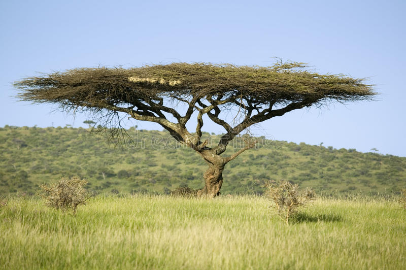 Acaciaboom in groen gras van Lewa-het Wildmilieubescherming, Noord-Kenia, Afrika stock afbeeldingen