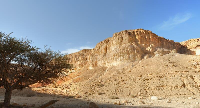 Acaciaboom onder de berg in de woestijn bij zonsondergang stock foto's