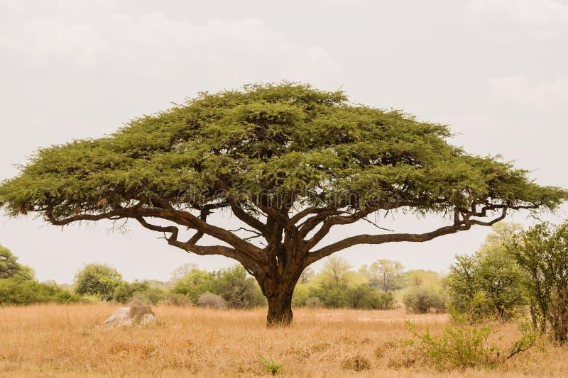 Acaciaboom in Savannah Zimbabwe, Zuid-Afrika royalty-vrije stock foto's