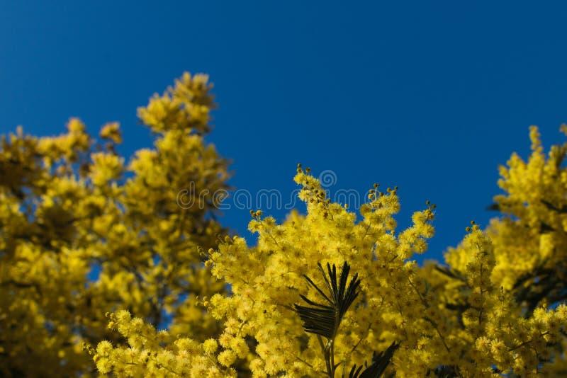 Acaciadealbata, de zilveren acacia, de blauwe acacia of de gele mimosaboom bloeien tegen blauwe hemel Achtergrond met exemplaarru stock afbeelding