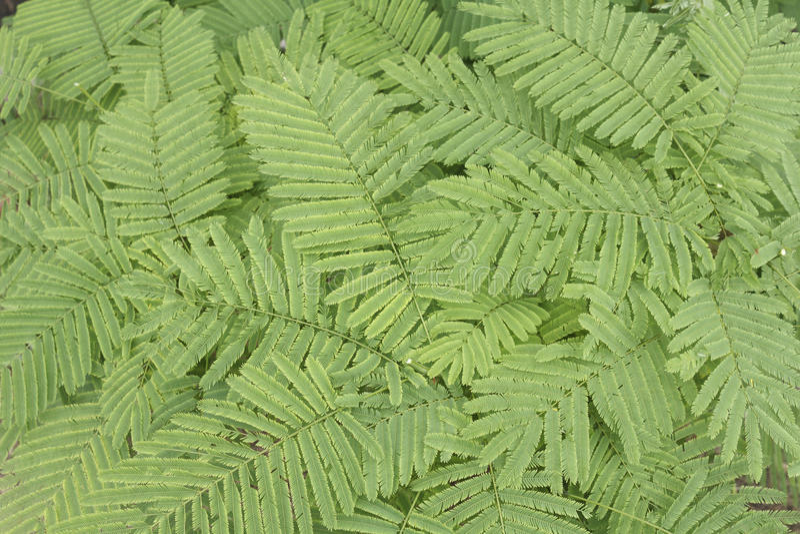 Acaciapennata arkivbild