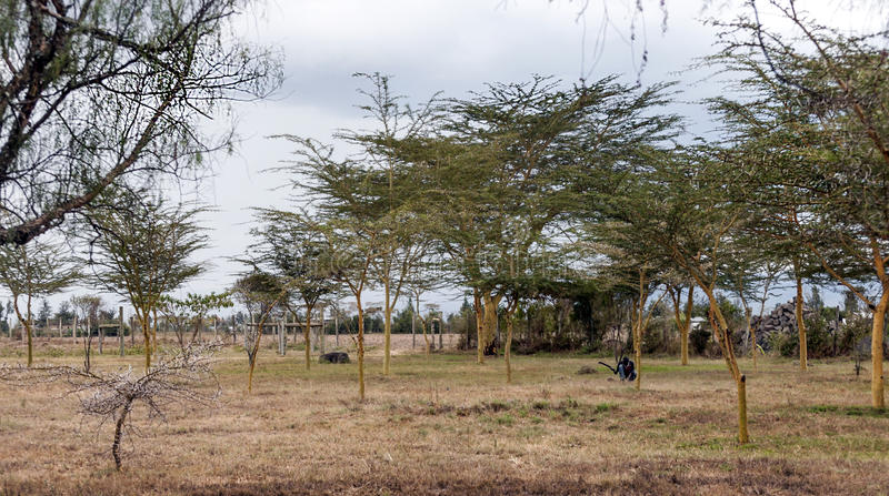 Acacias on the African savannah. Of Kenya on a cloudy day royalty free stock image