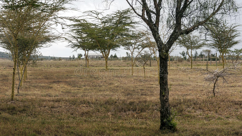 Acacias on the African savannah. Of Kenya on a cloudy day stock photography