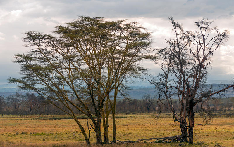Acacias on the African savannah. Of Kenya on a cloudy day stock image