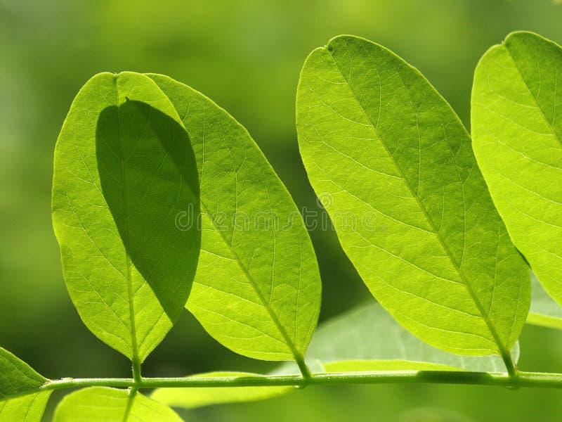 Acacias Leaf Royaltyfri Fotografi