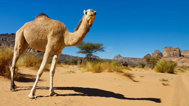 acacus akakus骆驼沙漠利比亚 免版税库存照片