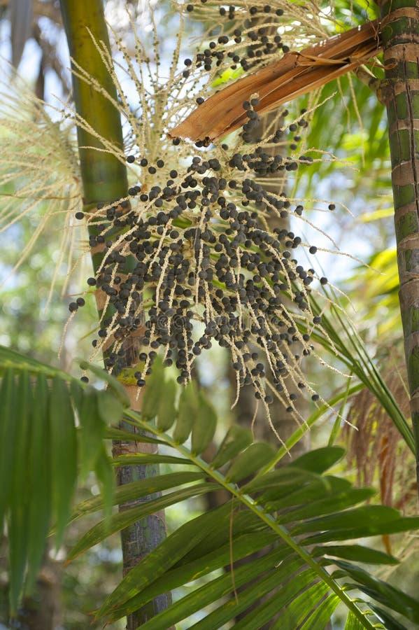Acai AçaÃ棕榈果树特写镜头 免版税库存图片