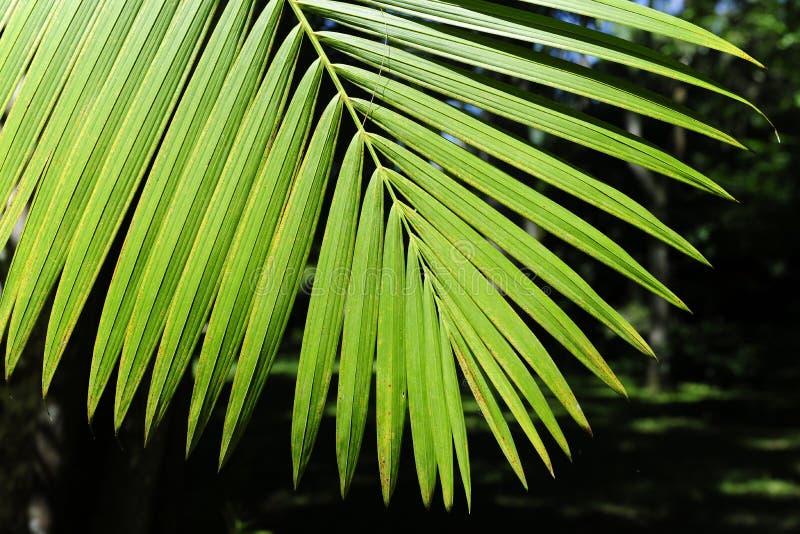 acai opuszczać palmy obraz stock