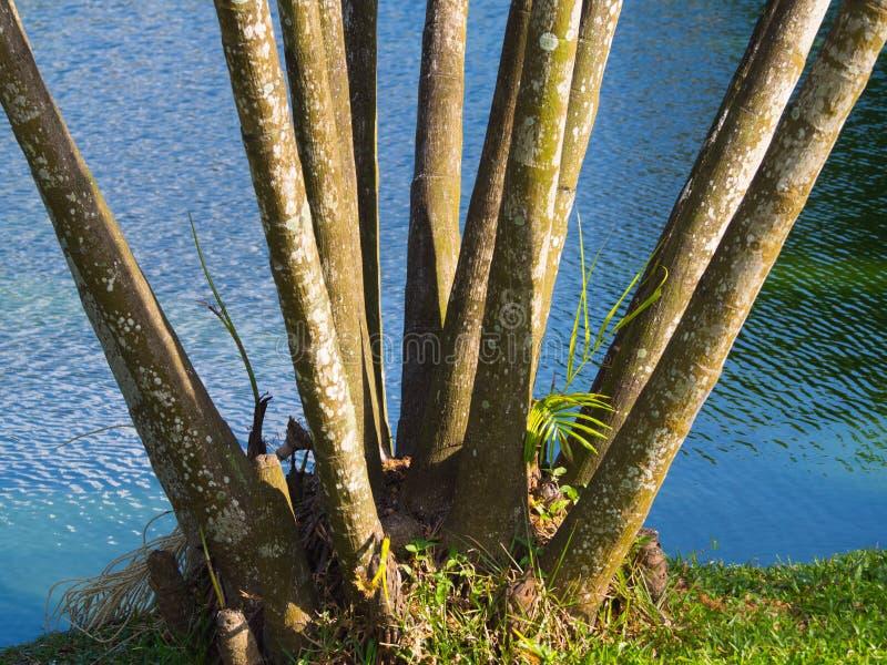 Acai palm royalty free stock photos