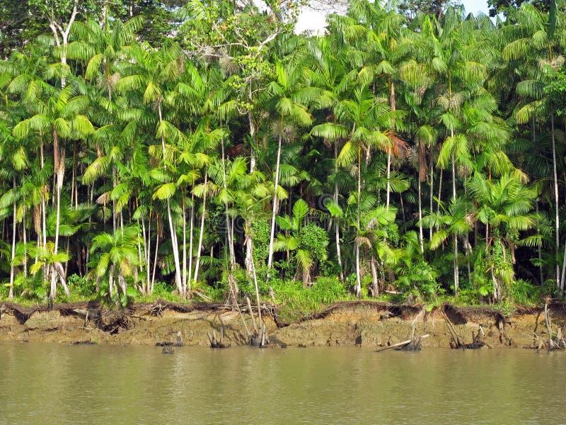 Acai Palms stock photo
