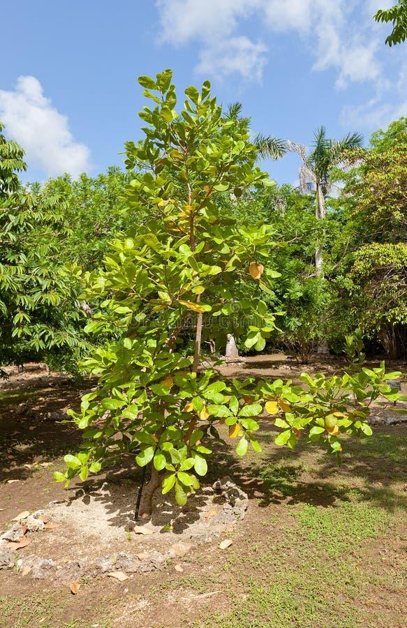 Acajoubaum in botanischem Park QE II auf Grand Cayman Insel lizenzfreie stockfotos