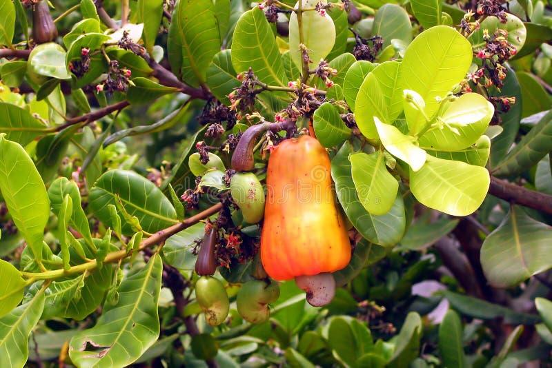 Frucht des Acajoubaums stockbild