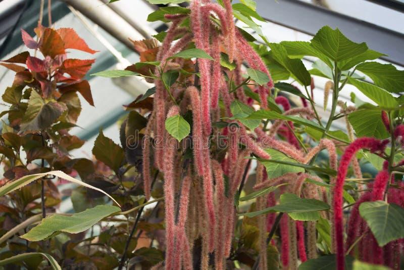 Acalypha hispida,宋绒线植物 库存图片