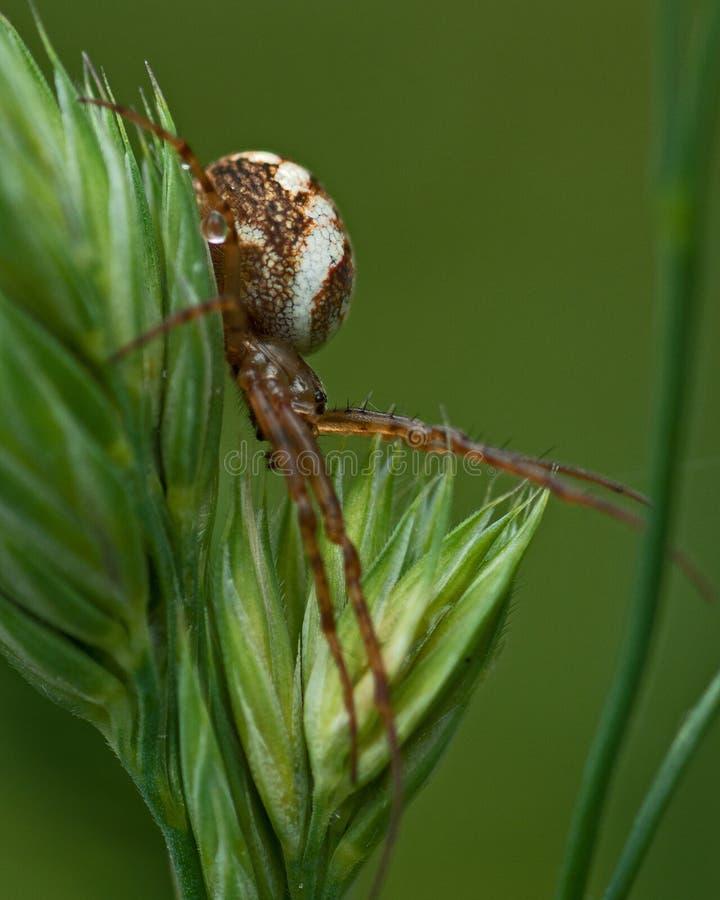 Acalypha Mangora паука стоковые фотографии rf
