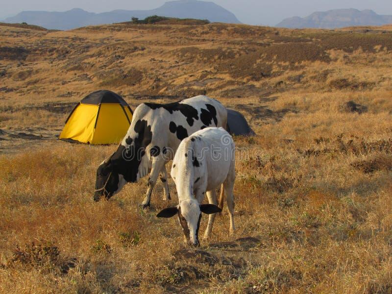 Acampamento e vacas imagens de stock royalty free