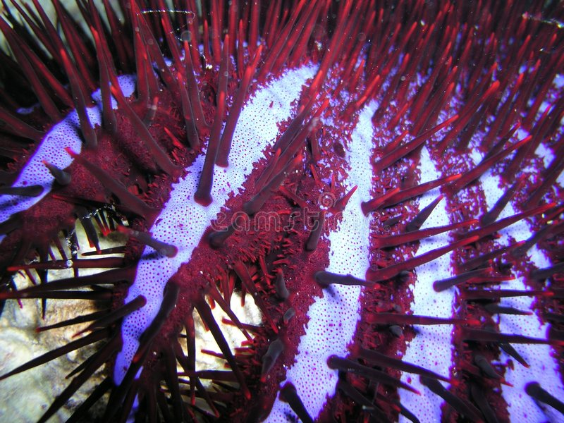Acanthaster photographie stock