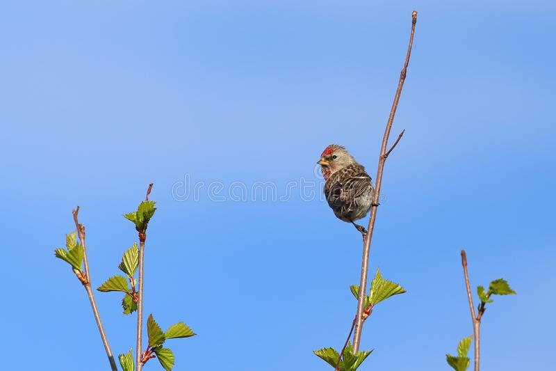 Acanthis flammea. Common Redpoll spring on the Yamal Peninsula. Acanthis flammea. Common Redpoll sits among branches in Siberia royalty free stock images