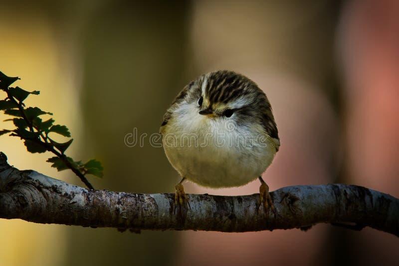 Acanthisitta chloris - Rifleman - titipounamu - endemic bird from New Zealand, small insectivorous passerine bird som är endemisk fotografering för bildbyråer