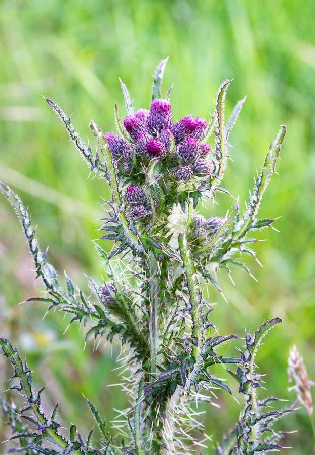 Acanthium escocês do Onopordum do cardo em Escócia fotografia de stock