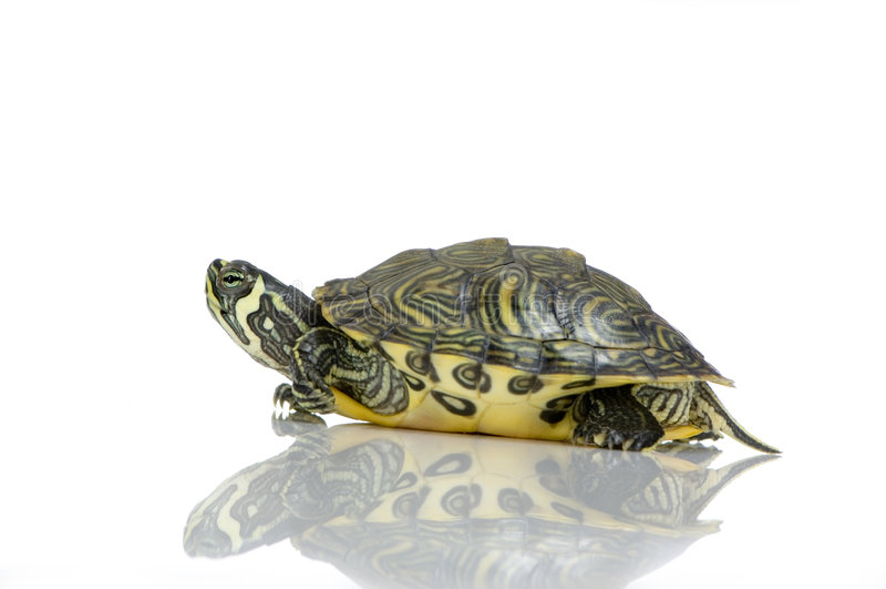 acanthochelys乌龟 免版税库存照片