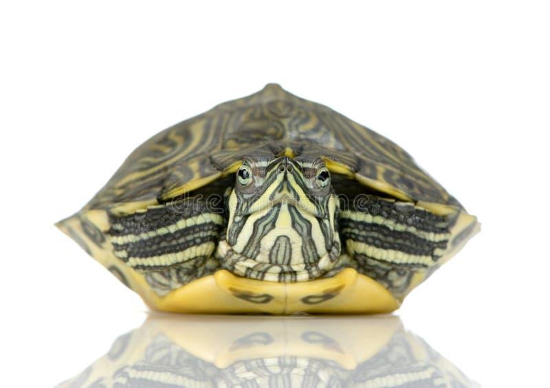 acanthochelys χελώνα στοκ φωτογραφία με δικαίωμα ελεύθερης χρήσης