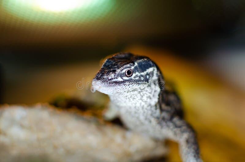 Acanthurus del Varanus Animales exóticos en el hábitat artificial fotos de archivo