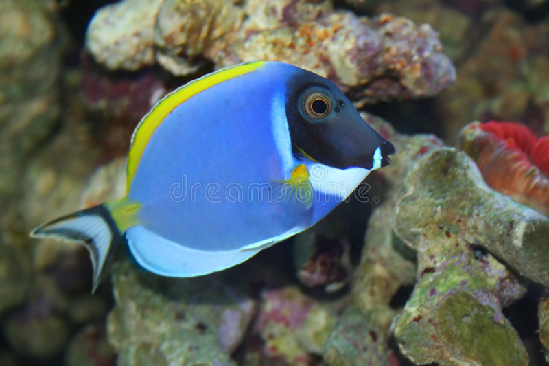 Acanthurus Leucosternon, poisson tropical photographie stock libre de droits