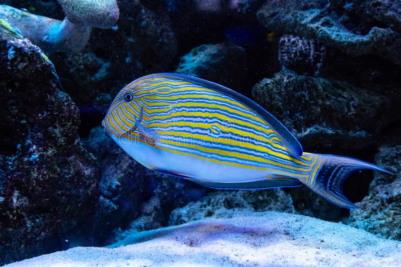 Acanthurus lineatus fish royalty free stock images