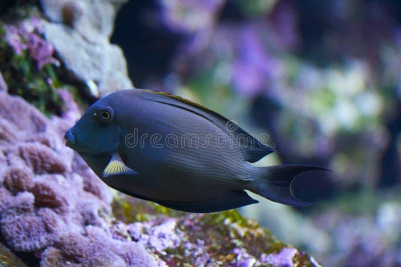 Acanthurus - surgeon fish stock photography