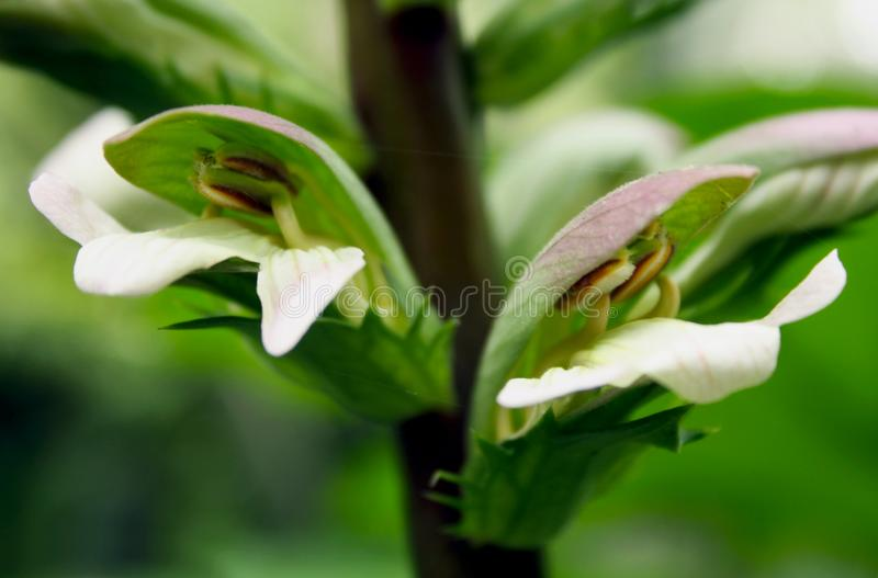 Acanthus mollis, bear`s breeches, sea dock, bearsfoot or oyster plant. Rare and interesting flowers of the bear`s breeches, sea dock, bearsfoot or oyster plant stock photography