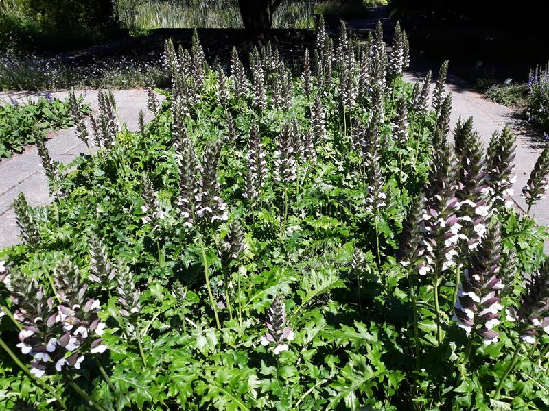 Acanthus Mollis `Latifolius` or Bear `s Breeches plant. Growing in a garden. Family: Acanthaceae. This garden plant grows in dry areas, roadsides and wastelands stock photo
