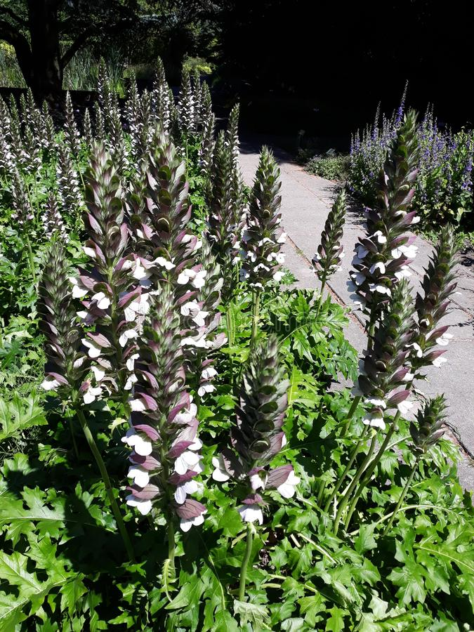 Acanthus Mollis `Latifolius` or Bear `s Breeches plant. Growing in a garden. Family: Acanthaceae. This garden plant grows in dry areas, roadsides and wastelands stock images
