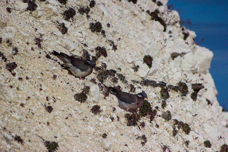Acantilado de tiza con las palomas foto de archivo