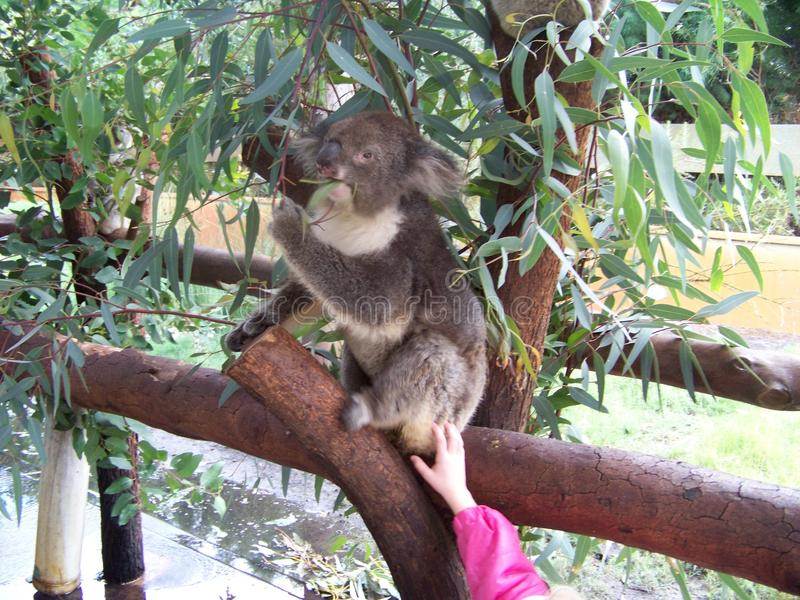 Acaricia comiendo la koala fotos de archivo libres de regalías