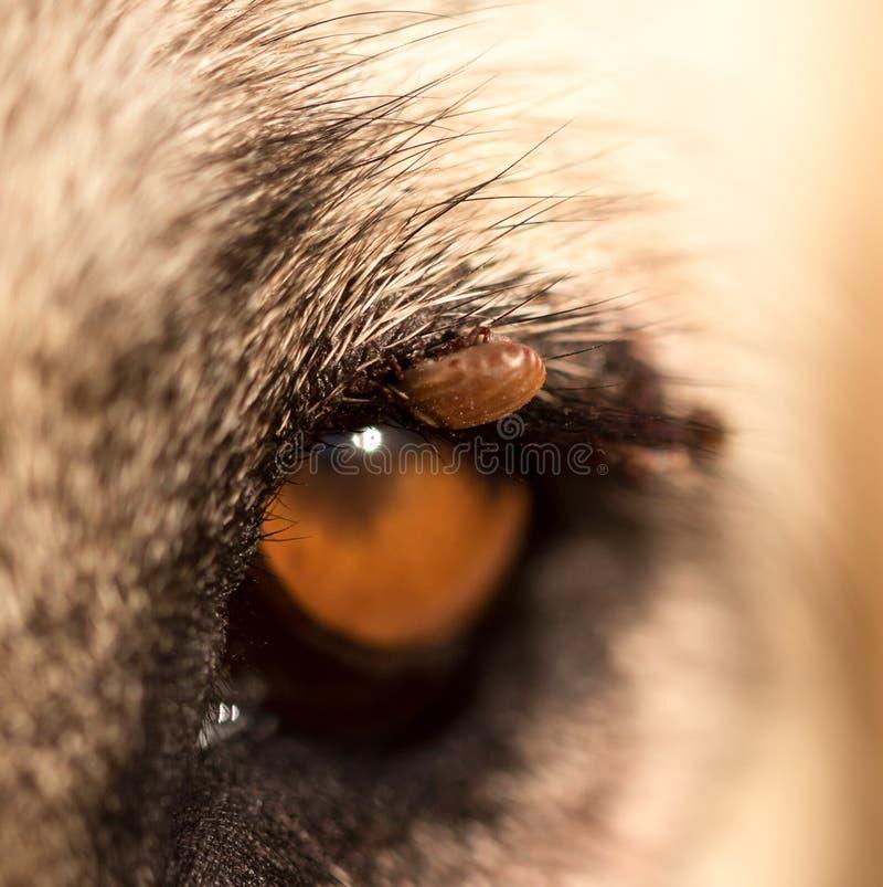Acarides sur l'oeil d'un chien photographie stock libre de droits