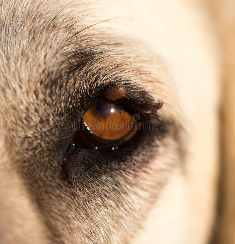 Acarides sur l'oeil d'un chien images stock