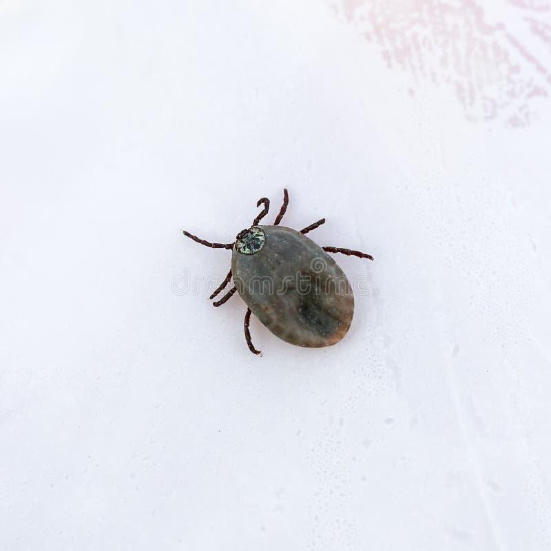 Acaro contagioso dell'insetto gonfiato con sangue che striscia sul docto immagini stock libere da diritti