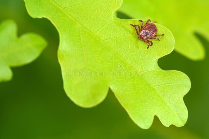 Acaro del parassita che si siede su una foglia verde della quercia Il pericolo del morso del segno di spunta fotografia stock libera da diritti