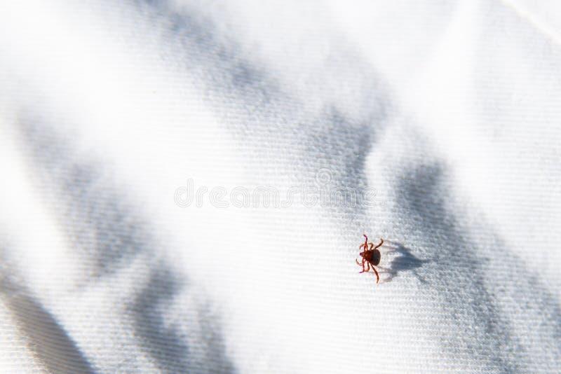 Acaro del parassita che si siede sulla superficie bianca Il pericolo del morso del segno di spunta immagine stock libera da diritti