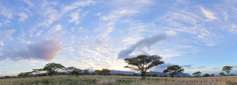 Acasia träd i Afrika royaltyfri fotografi