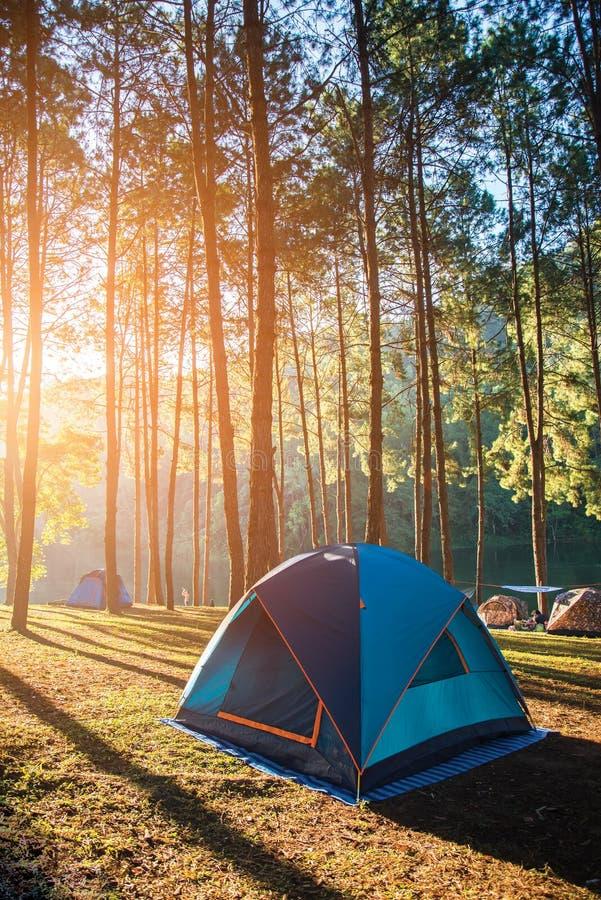 Accampandosi e tenda sotto l'abetaia nel tramonto a fitta-ung fotografia stock libera da diritti
