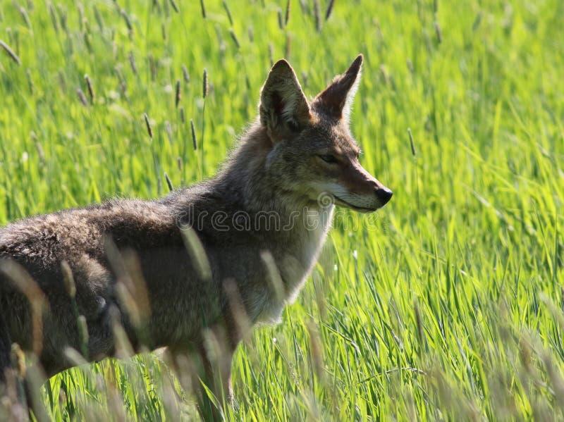 accanto al fiume fotografato del Nord di profilo del Minnesota del coyote fotografia stock libera da diritti