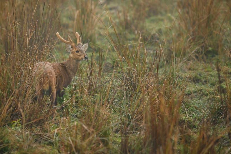 Accaparez les cerfs communs sur la prairie de Kaziranga dans Assam photo libre de droits