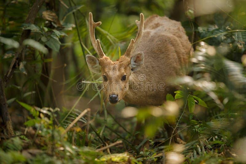 Accaparez les cerfs communs sur la prairie de Kaziranga dans Assam image stock