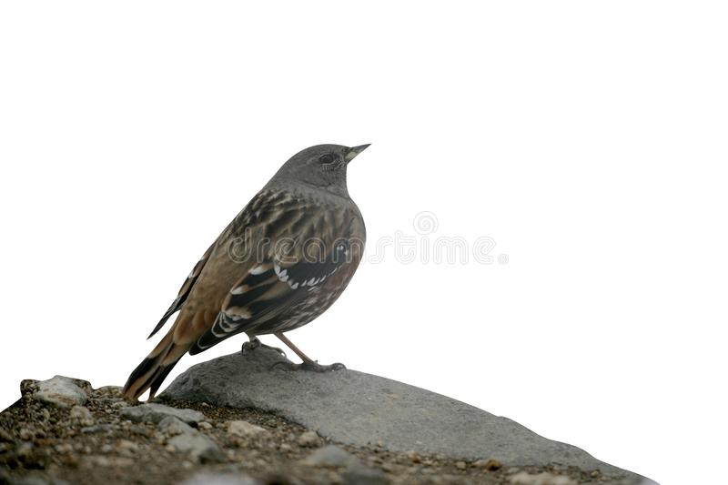 Accentor alpino, collaris del Prunella fotos de archivo