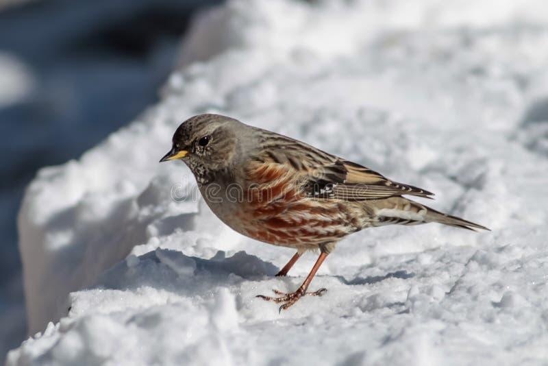 Accentor alpino Prunella Collaris Ferreirinha-Alpina fotografía de archivo libre de regalías